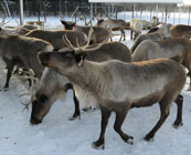 Reindeer farms