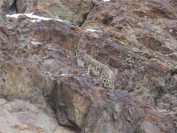 Snow Leopard searching vacation in Ladakh