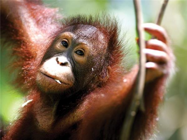 Borneo vacation, Land of the Orang Utan