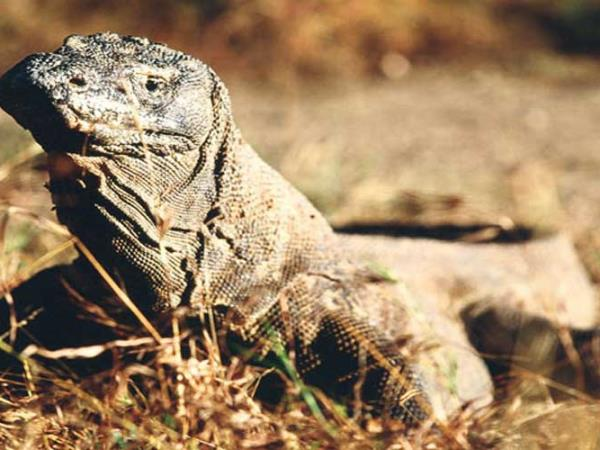 Kayaking holiday in Indonesia, Komodo Dragon tour