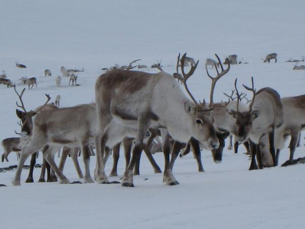 Saami reindeer migration expedition in Norway