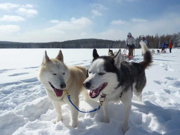 Algonquin Park dog sledding & snow shoeing holiday, Canada