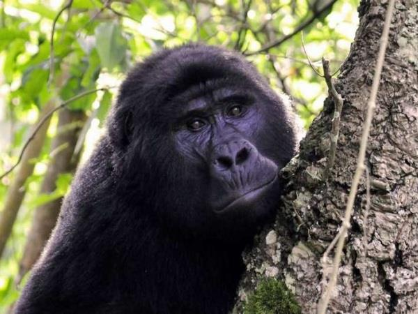 Uganda gorilla safari vacation