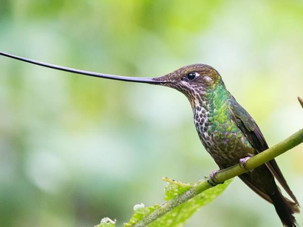 Ecuador bird photography vacation, Andes & Amazon