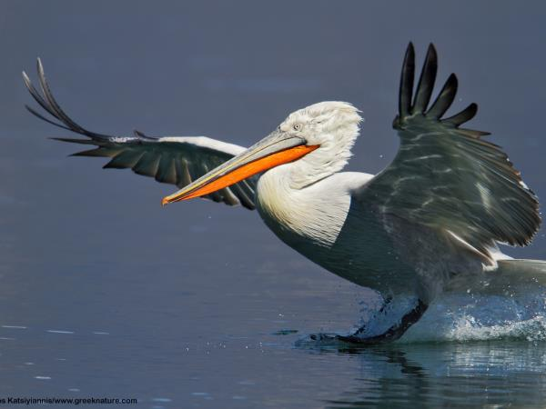 Greece bird watching vacation, Lake Kerkini