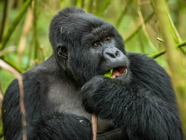 Gorilla tracking vacation in Rwanda