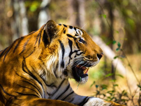 India tiger watching vacations