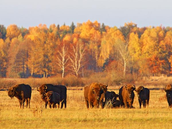 Poland bison safari in the Primeval Forest
