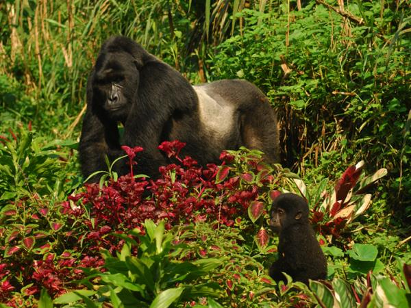 Bwindi mountain gorilla tracking, Uganda