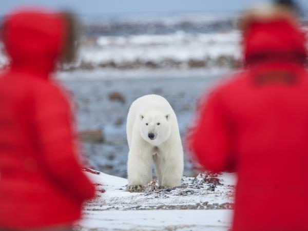 Arctic polar bear fly in safari, Canada