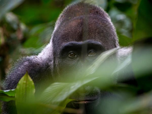 Lowland Gorilla safari in the Congo