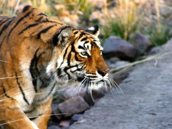 India wildlife and tiger safari