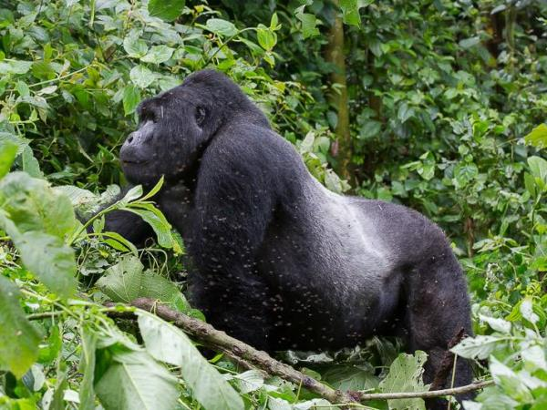 Gorilla and chimpanzee tracking vacation in Rwanda