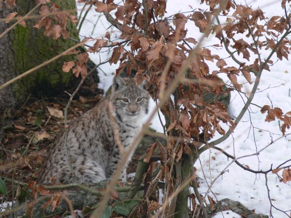 Transylvania wildlife vacation, lynx watching and tracking