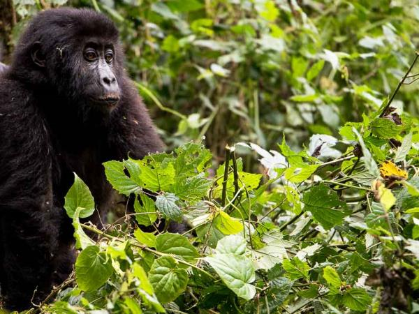 DR Congo gorillas and volcanoes tour