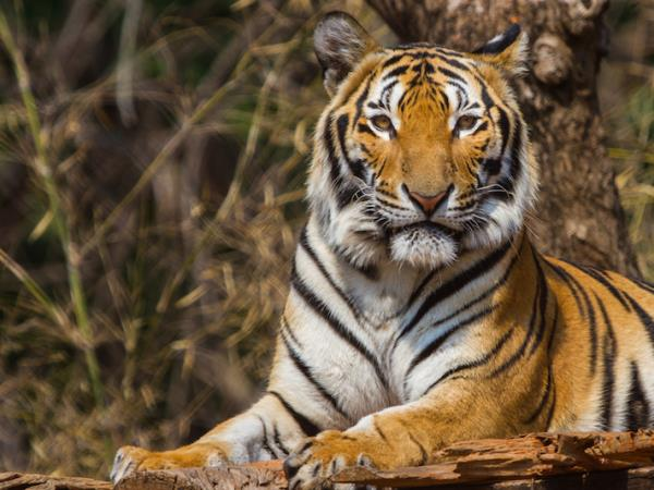 Bandhavgarh and Kanha tiger safari in India
