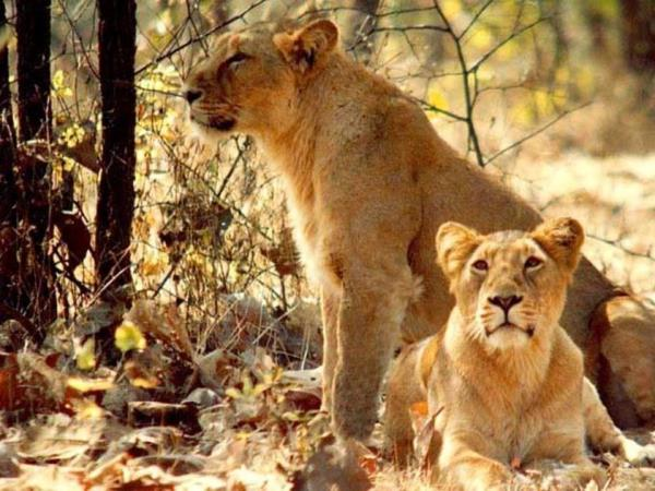 India big cats safari, lions and tigers