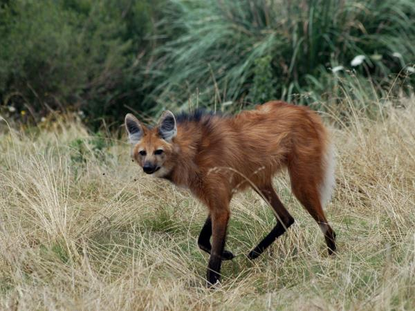 Maned wolf watching vacation in Brazil