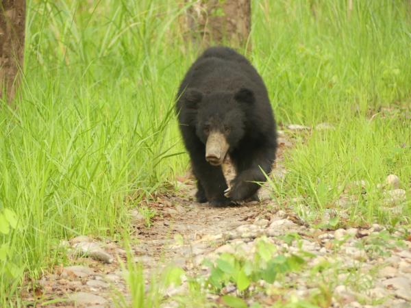 Satpura tiger and sloth bear watching vacation, India