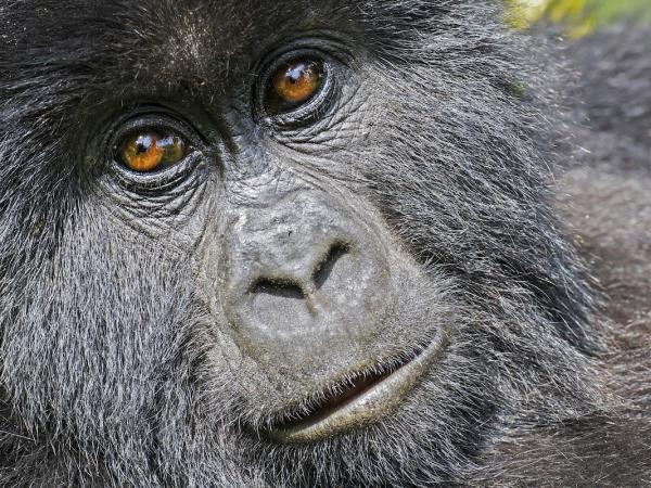 Mountain Gorilla photography vacation in Uganda