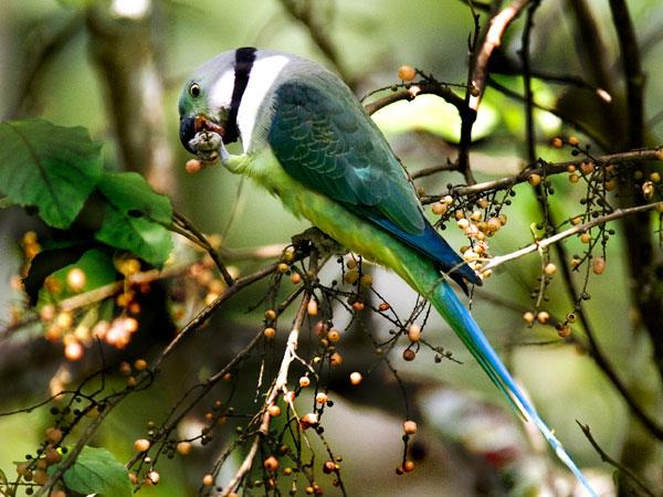 Western Ghats and Sri Lanka bird watching Holidays