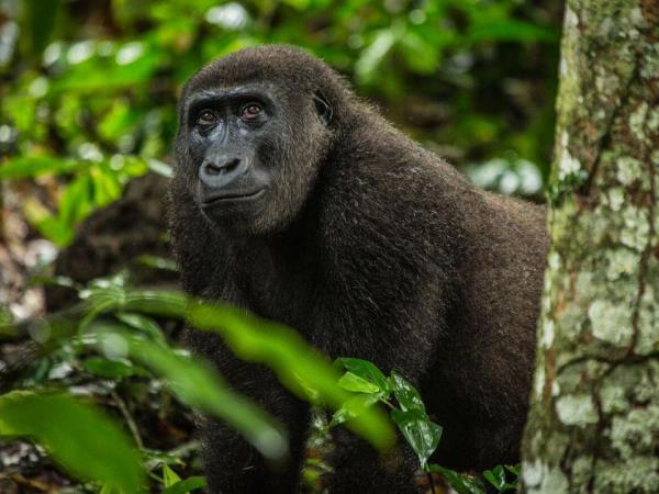 Congo safari with gorilla trekking
