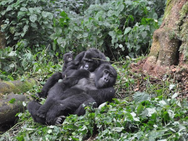 Classic Uganda safari and gorilla trekking