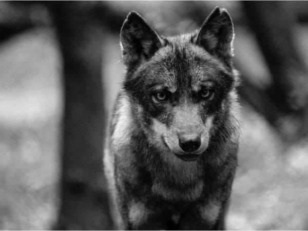 Volunteer at a wolf sanctuary in Portugal