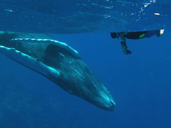 Humpback whalewatching and swimming vacation in the Caribbean