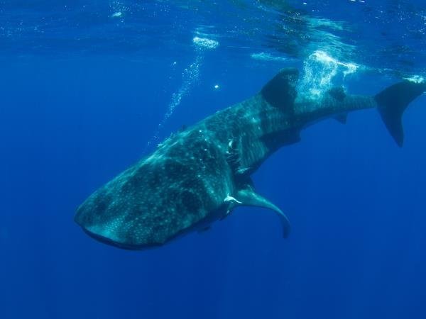 Whale shark safari in St Helena