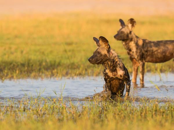 Painted dog safari in Zimbabwe
