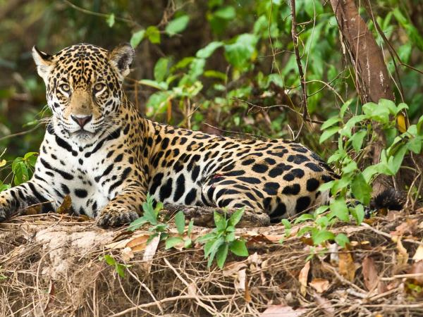 Jaguar photography vacation in Brazil with Pie Aerts