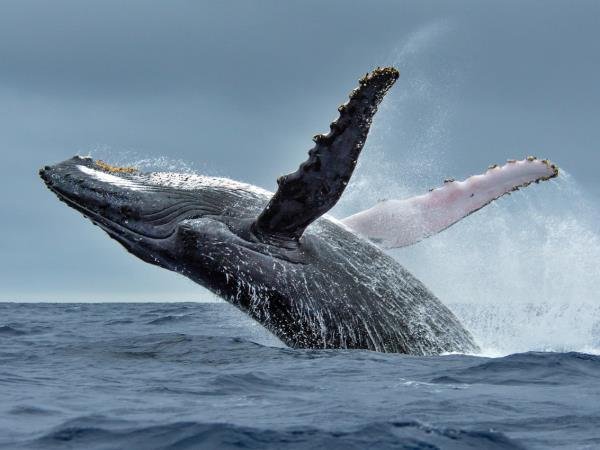 Swim with Humpback Whales in Mozambique