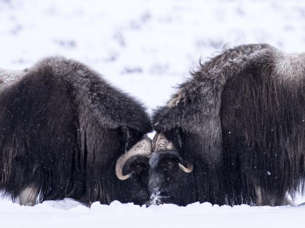 Norway musk ox photography short break