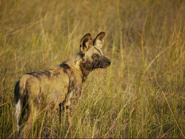 Wild dog tracking safari in Botswana