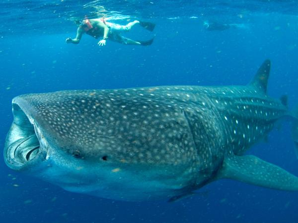 Cancun whale shark vacation, Mexico