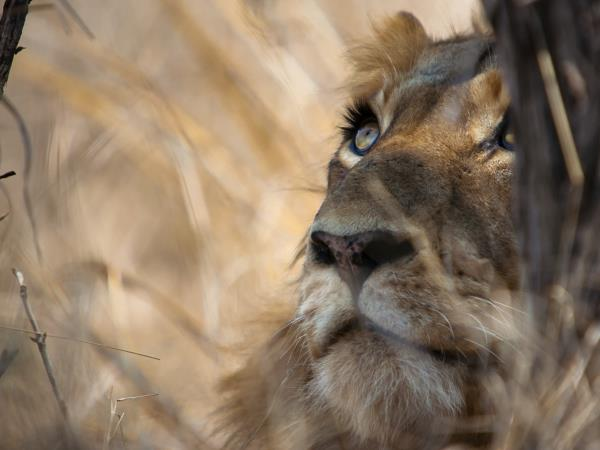 Lion safari in South Africa, 7 days