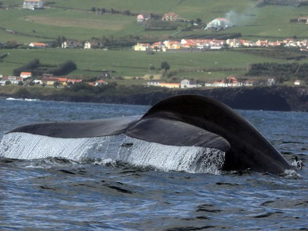 Blue whale watching vacation, migrating giants