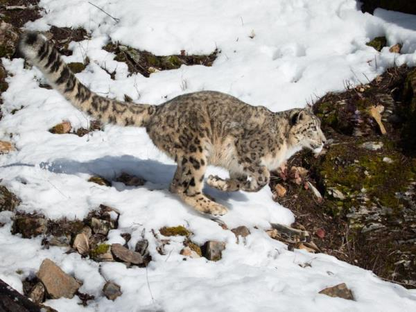 Snow Leopard tracking vacation, Central Asia