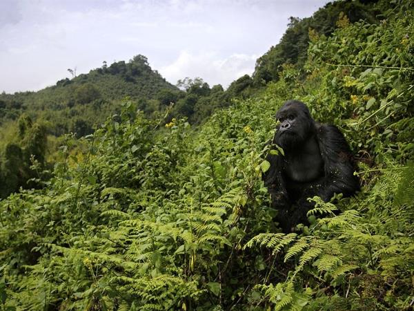 3 Day Gorilla trekking vacation in Rwanda