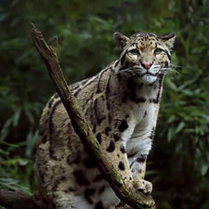 Clouded leopard safaris in Borneo