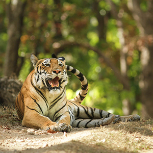 Big cat safaris in India