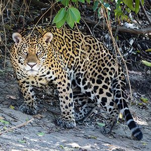 Jaguar safaris in the Pantanal