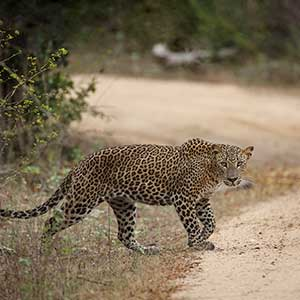 Sri lanka leopard safaris