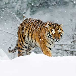 Siberian tiger and Amur leopard safaris