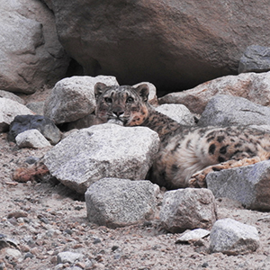 Snow leopard tracking holidays in Ladakh