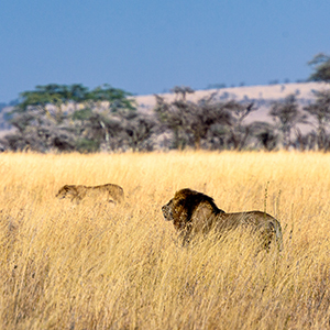 Big cat safaris in South Africa