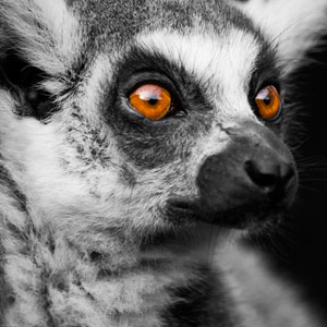 Where to see lemurs in Madagascar