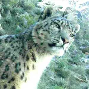 Snow leopard tracking