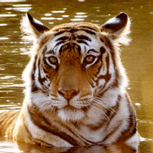 Tiger safaris travel guide